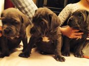 Kc Neopolitan Mastiff Pupies For Sale