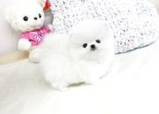 KFDN friendly,  and sociable Pomeranian For Sale CALL 07031957695