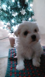 Maltzu (Maltese/Shih Tzu) Puppy for Sale